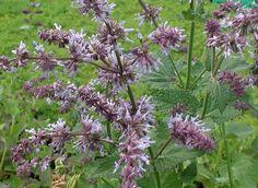 perenni Salvia exturky :: Vivai Priola