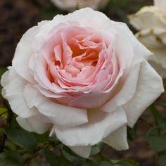 Rosier ANDRE LE NOTRE ® Meiceppus Parfum Rose, Pretty Roses, Romantic Roses, Plantation, Botanical Gardens, Flower Power, Peonies, Dream Wedding, Floral