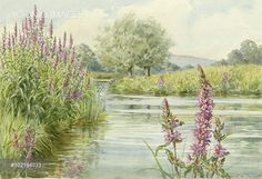 Purple Loosestrife (Lythrum salicaria) in landscape with river
