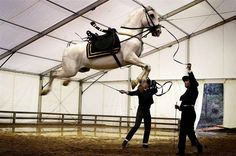 Purebred Spanish horse  in Seville exhibition of the SICAB fair. #air #awesome #spain