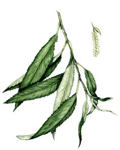 Botanical illustration of willow, showing a lanceolate simple leaf
