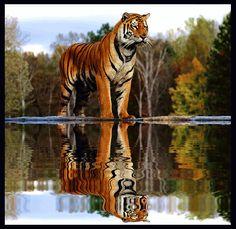 Tiger By The River fotó 88keret.gif
