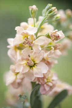 Matthiola incana, Traditional Field Grown Column Stock, 'Apricot' Apricot Seeds, Seed Catalogs, Types Of Soil, Flower Farm, Light Orange, Cut Flowers, Garden Planning, Compost, Indoor Plants