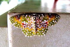 Oriental Orange banded Green Geometer moth Ceroctena amynta
