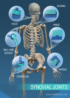 The range of motion in synovial joints: pivot, ball and socket, condyloid… Human Skeleton Anatomy, Human Body Anatomy, Human Anatomy And Physiology, Muscle Anatomy, Human Joints, Body Joints, Anatomy Bones, Yoga Anatomy, Massage Therapy School