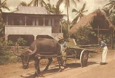 Carabao (water buffalo), Guam USA