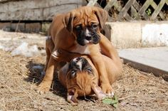 Just walk away, this doesn't concern you. Boxer And Baby, Boxer Love, Boxer Puppies, Dogs And Puppies, Funny Boxer, White Boxers, Four Legged, Life Is Good, Cute Animals