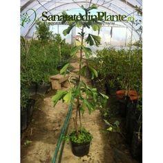 Ginkgo Biloba 70 CM Trees, Plants, Green, Tree Structure, Planters, Wood, Plant, Planting