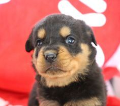Breed Rottweiler Gender Female Registry Akc Personality Family