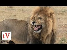 Lions are currently of Vulnerable conservation status. Filmed at Olare Motorogi Conservancy, Masai Mara, Kenya, February Vulnerability, Conservation, Lions, Pets, Big, Animals, Youtube, Kenya, Lion