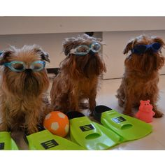 Ready for the Summer! #Brusselsgriffon