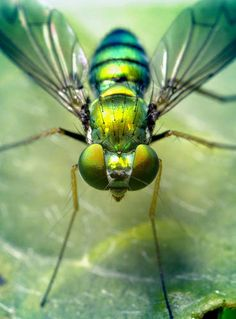 As annoying as they can be, sometimes a fly's iridescence is irresistible. This shiny fly is a perfect example, looking jewel-like in greens and golds. But, if you just can't stand them, here are 7 natural fly repellents that will keep them from buzzing to close.
