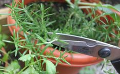 Harvesting Herbs 101 (Basil, Chives, Cilantro/Coriander, Mint, Parsley, Rosemary, Sage, Tarragon, Thyme) - HOMEGROWN