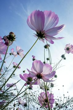 HOW TO PLANT, GROW, AND CARE FOR COSMOS  Learn how to plant, grow, and care for cosmos with this plant guide from The Old Farmer's Almanac.