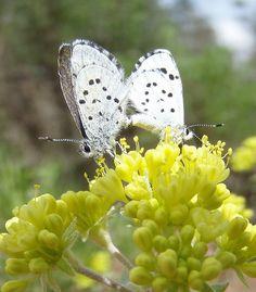 Leona's Little Blue Butterfly Volcanic Ash, One Summer, Blue Butterfly, Pumice, Microorganisms, Animal Kingdom, Fields, Bugs, Oregon