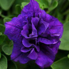 Petunia Double Wave- a beautiful color!