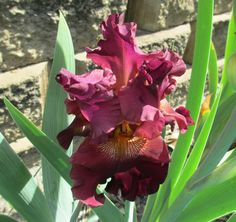 BEARDED IRIS - RIP CITY. One of our more popular Iris we sell. We sold out last year. We should have a few to sell in 2017. #iris