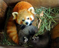 maman panda roux et ses bébés