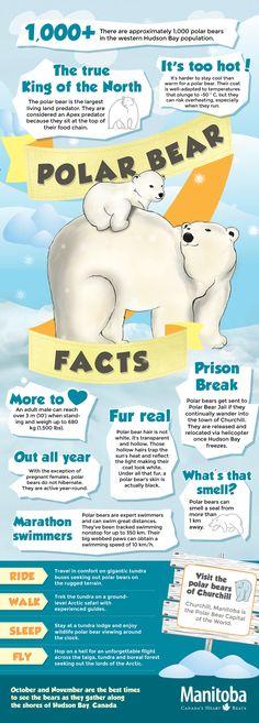 Polar Bear Infographic. #PolarBearWeek