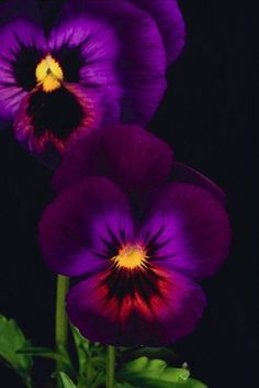 Dark Purple Violets