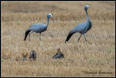 Blue cranes and Cape Foxes in the Overberg, Western Cape, South Africa South African Birds, African Animals, Flora And Fauna, Bird Feathers, Foxes, Crane, Pet Birds, Animals Beautiful, Animals And Pets