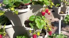 Our gardeners show you some fun ways to grow strawberries; in bags, buckets, towers, and more! Growing strawberries can be easy to do, and you don't need a large space.