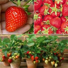 Strawberry : Extend The Season Collection