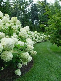 I love lime light hydrangeas.  They are so beautiful this year in Cincinnati.