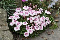 Popis rodu Dianthus Bulbs, Floral Wreath, Wreaths, Plants, Decor, Lightbulbs, Floral Crown, Decoration, Door Wreaths