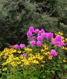 Rudbeckia and Phlox with Willow as a background