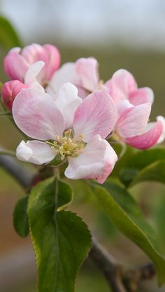 This beautiful photo of our delicate apple blossoms was taken by Julie Falconer at our farm in Leckford. The blossoms will grow into our crisp Cox apples that are used to make our delicious Leckford cider.