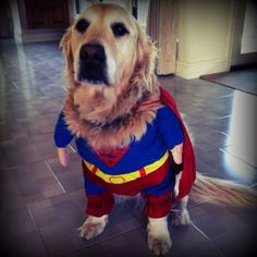 Cute superman costume on Amy's Golden Retriever! Too funny!!