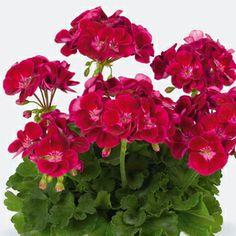 Plant combinations for pots - geranium 'Flower Fairy Velvet' combines very well with verbena 'Sissinghurst'.