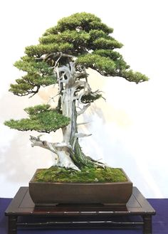 Perfect tips for bonsai care, from beginners to experts Bonsai Tree Care, Bonsai Tree Types, Succulent Bonsai, Bonsai Plants, Succulents, Garden Terrarium, Bonsai Garden, Ikebana, Dwarf Trees