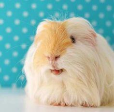 Piggy tounge