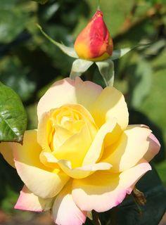 'Peace Rose' | Hybrid Tea Rose. Francis Meilland, 1935 | © Patricia Manhire