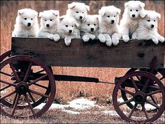 .Someyed puppies in a wagon