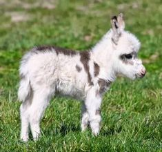 Miniature donkey - Our Francis looked like this when he was little. Francis has a heart shaped spot though!