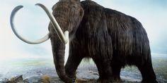 Mamute:Falando nos tigres-de-dente-de-sabre, os mamutes não eram seus maiores fãs. Eles também viveram na América do Norte, além de África e norte da Ásia, e foram extintos há cerca de 12 mil anos. Os mamutes tinham muitas semelhanças com os elefantes atuais, como trombas e presas de marfim encurvadas. São conhecidas 14 espécies de mamutes. O mamute do rio Songhua era o maior deles, podendo alcançar até 5 m de altura e pesar entre 15 e 20 toneladas. Andrew Nelmerm / Getty Images