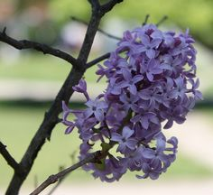 the smell of Lilacs in spring!