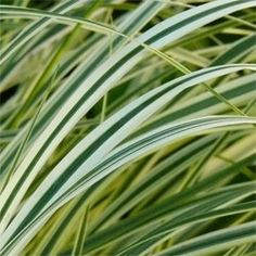 Calamagrostis acutiflora 'Overdam'  x OMBRA