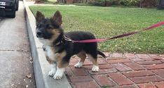 You can see her all the information like history, appearance, corgi puppy price, pictures, pros and cons of the Corgi German shepherd mix. Corgi Chow Mix, Corgi Mix Puppies, Corgi Mix Breeds, Puppy Mix, Bulldog Breeds, Cute Puppies, Cute Dogs, Husky Puppy, Corgi German Shepard Mix