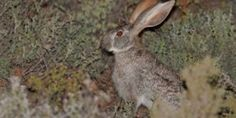 SMITH'S RED ROCK RABBIT (Pronolagus rupestris)  of the Gourtiz Cluster Biosphere Reserve World Heritage Sites, Mammals, Rabbit, Rock, Bunny, Rabbits, Stone, Rock Music, The Rock