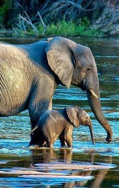 Amazing wildlife - Elephant with baby photo River crossing at the MalaMala Game Reserve, South Africa, photo: Douglas Croft Animals And Pets, Baby Animals, Cute Animals, Baby Elephants, Wild Animals, Photos Of Elephants, Baby Hippo, African Elephant, African Animals
