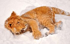 nice baby lion in the snow wallpaper