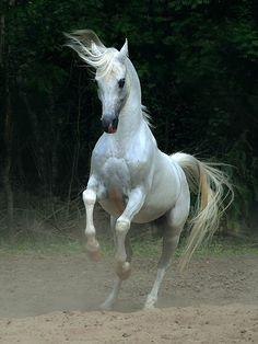 3021 Сказочная красота   арабские и андалузские лошади