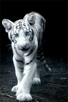 white tigers = beauty...