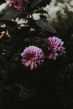 7 Impressive Flowers Portraits Close-up Photography Of Pink Petaled Flower Flower Phone Wallpaper, Iphone Background Wallpaper, Hd Wallpaper, Flowers Nature, Beautiful Flowers, Dahlia Flowers, Wall Flowers, Cactus E Suculentas, Paisajes