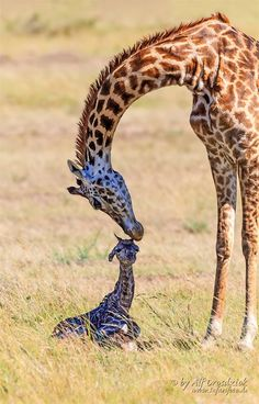 ~~Birth of a Giraffe • newborn giraffe calf, Masai Mara, Kenya • by Alf Drosdziok~~