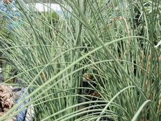 Blue Grey Rush is an evergreen aquatic in the South